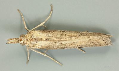 Faveria tritalis Walker, 1863 (Pyralidae)