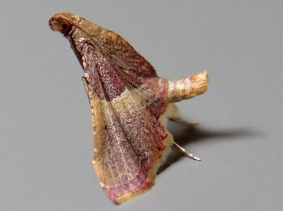 Endotricha mesenterialis (Pyralidae)