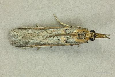 Etiella behrii (Pyralidae)