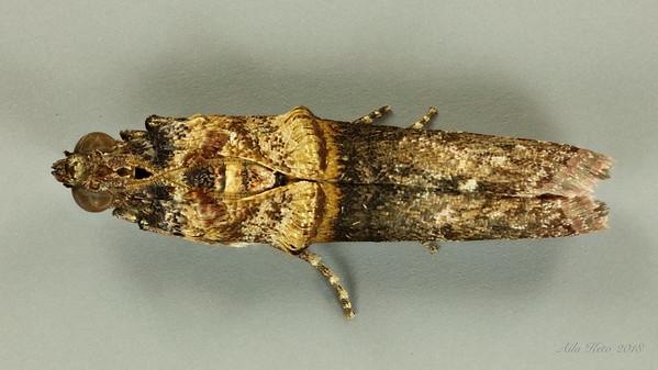 Hypargyria metalliferella Ragonot, 1888 (Pyralidae)