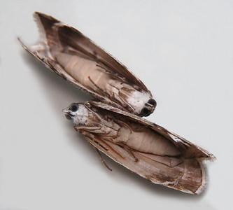 Lacalma mniomima (Pyralidae)