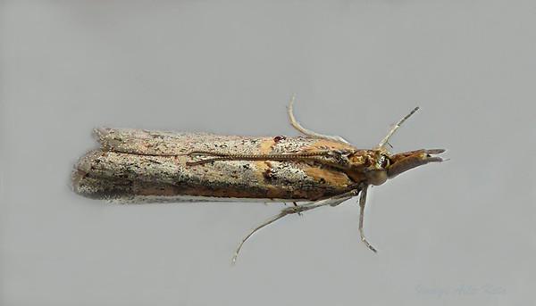 Etiella behri (Pyralidae)