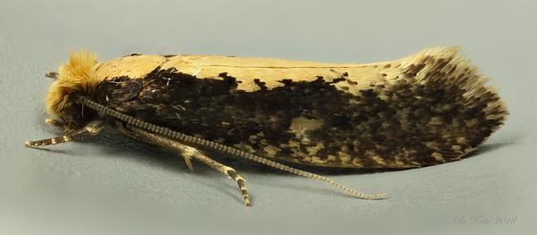 Monopis crocicapitella Clemens, 1859 (Tineidae, Tineinae)