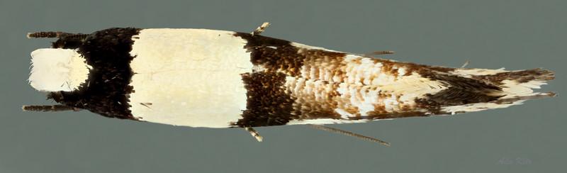 Monopis icterogastra Zeller, 1852 (Tineidae)