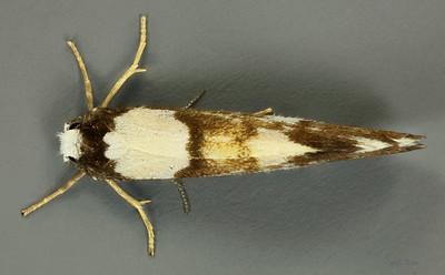 Monopis meliorella Walker, 1863 (Tineidae)