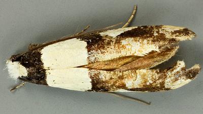 Monopis icterogastra (Tineidae)