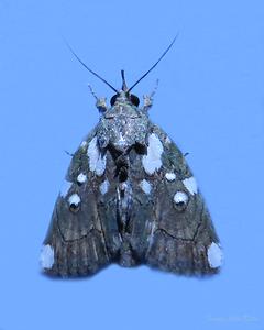 Araeopaschia (Pyralidae)? or Ectopatria sp. Noctuidae, Noctuinae?