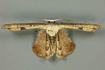 Dirades lugens (Uraniidae)