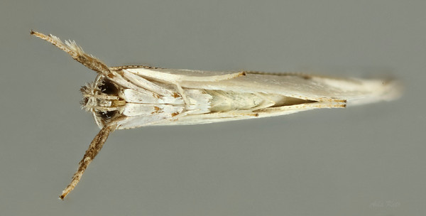 Unidentified sp. (Yponomeutidae)