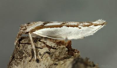 Unidentified sp. (Yponomeutidae))