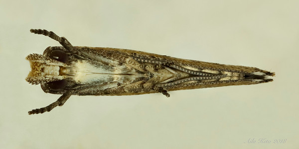 Zelleria cynetica Meyrick, 1892 (Yponomeutidae)