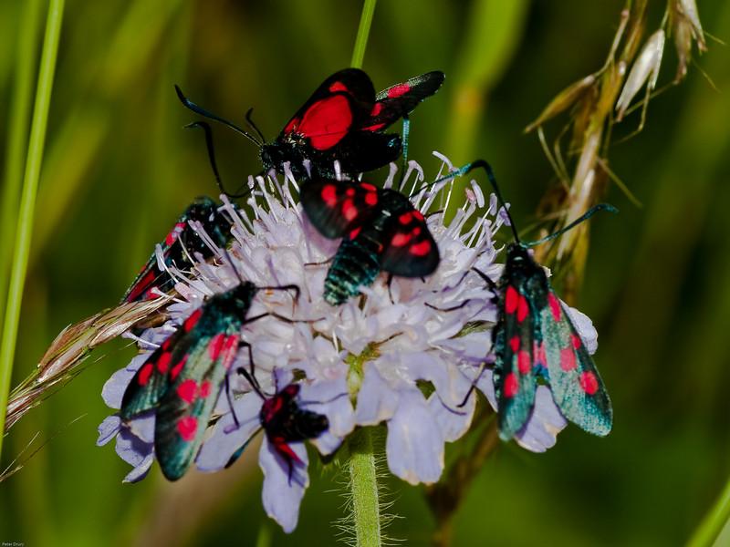5-spot Burnet (Zygaena trifolii). Copyright 2009 Peter Drury<br /> Feeding frenzy of recently emerged moths.