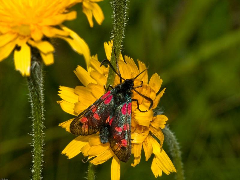 6-Spot Burnet (Zygaena filipendulae). Copyright 2009 Peter Drury