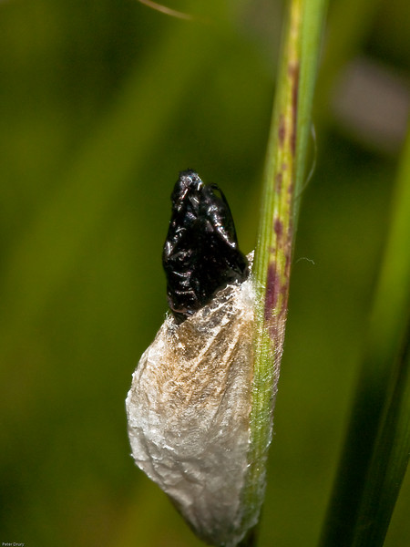 5-spot Burnet (Zygaena trifolii). Copyright 2009 Peter Drury<br /> The pupae lies within a papery cocoon. The pupae bursts through before the moth emerges. The moth has already left leaving the empty pupae behind.