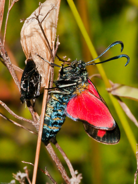 6-Spot Burnet (Zygaena filipendulae). Copyright 2009 Peter Drury<br /> Freshly emerged from the pupae (left) and drying out its wings. This image shows the brown coocoon, black pupae case and of course the moth.