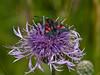 5-spot Burnet (Zygaena trifolii). Copyright 2009 Peter Drury