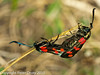 25 July 2010 - 6 spot Burnet Moth. Copyright Peter Drury 2010