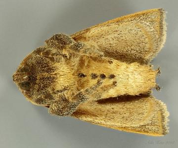 Anaxidia lozogramma Turner, 1902 (Limacodidae)