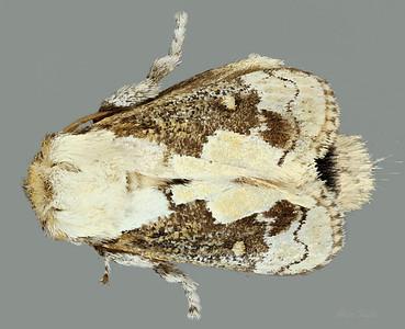 Mecytha fasciata Walker, 1855 (Limacodidae