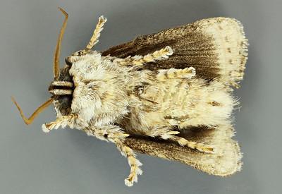 Mecytha fasciata Walker, 1855 (Limacodidae)