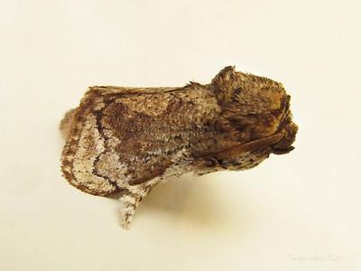 Mecytha fasciata (Limacodidae)