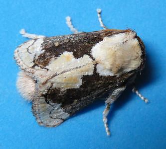 Mecytha fasciata (Macadamia Cup Moth)
