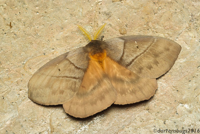 Saturniid moth, Periphoba arcaei, from Belize.