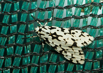 Erebid moth (Erebidae: Arctiinae. probably Eucereon tigrata) from Monteverde, Costa Rica.