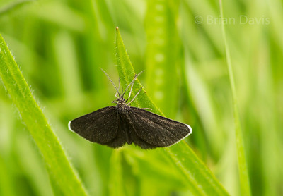 Chimney Sweeper Moth 2