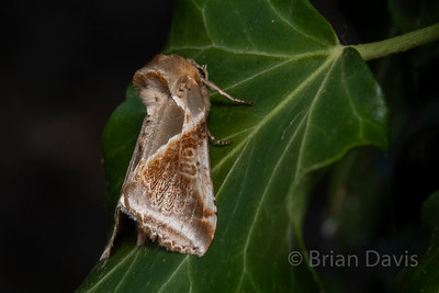 Buff Arches Moth