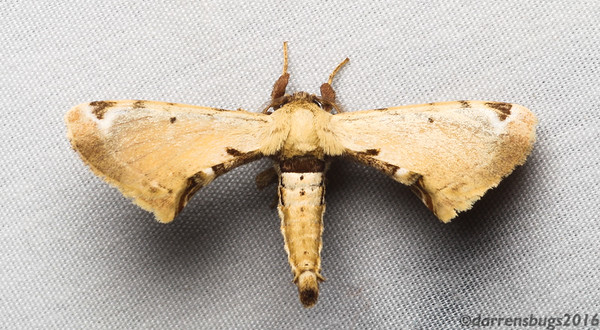 Moth from Belize, possibly a silkworm moth (Bombycidae).