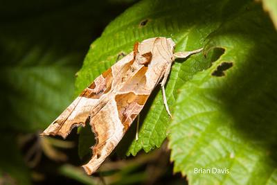 Angle Shades Moth 1