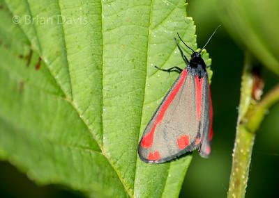 Cinnabar Moth 2