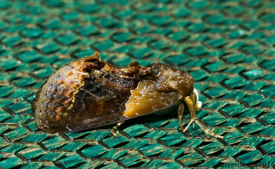Another lovely Erebid moth, Gonodonta bidens (Erebidae), from Monverde, Costa Rica.