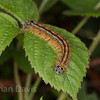 The Lackey Moth Caterpillar 2