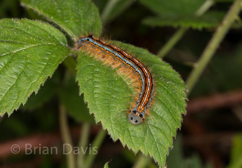The Lackey Moth Caterpillar 2