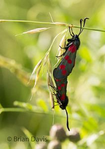 6 Spotted Burnet moths mating