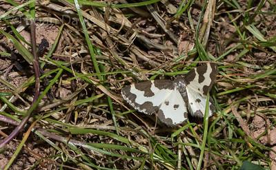Clouded Border Moth