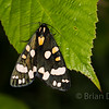 Scarlet Tiger Moth 2