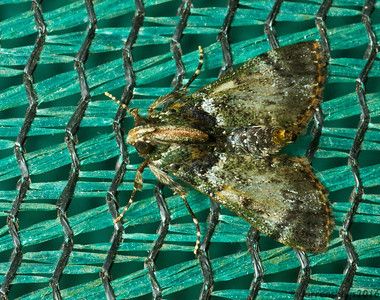 Pyralid moth, Pyralidae: Epipaschiinae, with excellent jungle camouflage. (Monteverde, Costa Rica)