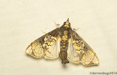 Grass moth (Crambidae) from Belize, possibly Pantographa sp.