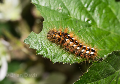 Brown Tail Moth Caterpillar