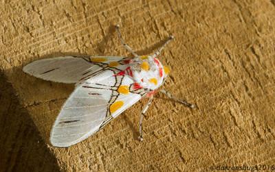 Scape Moth (Arctiinae: genus Idalus) from Monteverde, Costa Rica.