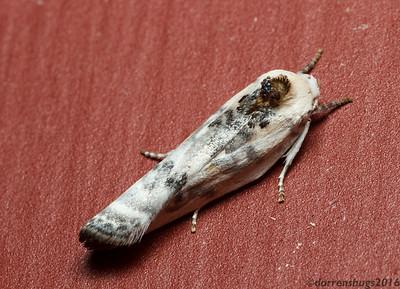 Schlaeger's Fruitworm Moth, Antaeotricha schlaegeri (Iowa, USA).
