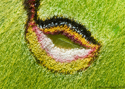 Close-up of a Luna moth's forewing eyespot (Actias luna - Iowa, USA).