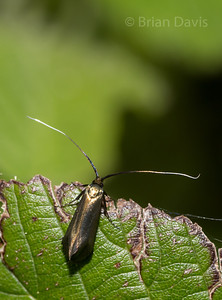Green Longhorn Moth  2