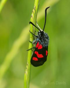 5 Spot Burnet Moth 2