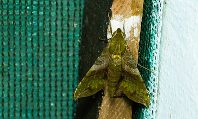 Pluto sphinx, Xylophanes pluto, from Costa Rica.