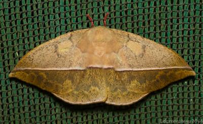 Saturniid moth (Saturniidae: Lonomia sp.) from Monteverde, Costa Rica.
