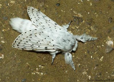 Lappet Moth - Lasiocampidae, genus Artace (Monteverde, Costa Rica).
